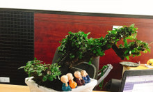 Cây cẩm thị dáng bonsai tự nhiên - hoành 25 cm