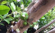 Giống nho thân gỗ độc lạ đang cho trái tại nhà vườn Khánh Võ