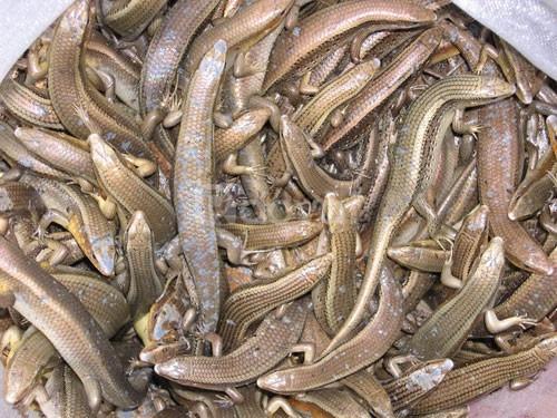 Bán rắn mối thịt tại TPHCM có rắn mối đông lạnh giá rẻ
