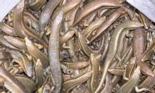 Bán rắn mối thịt thương phẩm, rắn mối đông lạnh tại TPHCM, Biên Hòa
