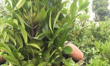 Cây cherry trồng có trái ở Việt Nam