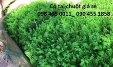 Cỏ tai chuột, cỏ xoong trang trí tường giá rẻ