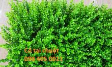 Cỏ tai chuột, cỏ cải xoong 40cm x 60cm giá rẻ