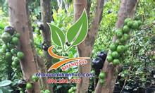 Nho thân gỗ Nam Mỹ chi chít trái từ gốc đến ngọn