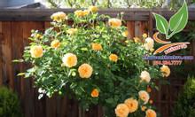 Hồng thân gỗ Tree Rose