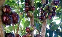Cung cấp cây nho thân gỗ Nam Mỹ