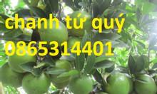 Cây giống đất Việt cung cấp giống chanh tứ quý, chanh 4 mùa, cay giống