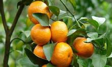 Cây giống cam canh (cam đường canh) mua ở đâu cho chuẩn giống