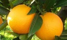 Cung cấp giống cam v2 cam chín muộn ở miền bắc giống cam v2 lòng vàng