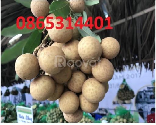 Giống nhãn muộn Hà Tây, cung cấp cây giống chuẩn giống