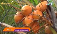 Thu gần 1,5 tỷ từ trồng dừa lùn