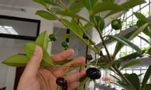 Cherry brazil cung cấp cây giống, cây giống nhiệt đới, giao hàng toàn