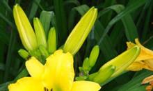 Hạt giống hoa kim châm cây giống hoa kim châm