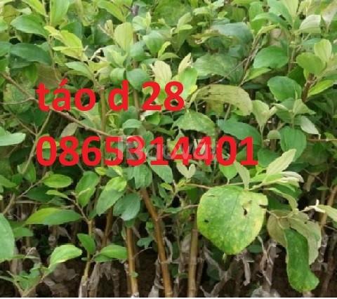 Giống táo d28 mua đâu cho chuẩn giống cây giống táo d28 chuẩn giống
