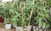 Cung cấp giống cây dưa pepino tại TPHCM