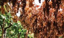 Mua sỉ nho khô nguyên cành Úc ở đâu tại Quận 7 giá rẻ