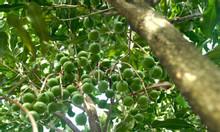 Trung tâm giống cây trồng nông nghiệp, giới thiệu giống cây mắc ca