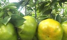 Giống quýt đường Thái Lan, cây giống ghép sinh trưởng nhanh, trái nhỏ