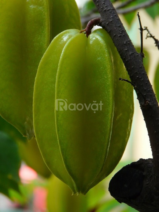 Giống cây khế ngọt, giống cây cho trái ăn thanh nhiệt và rất ngon