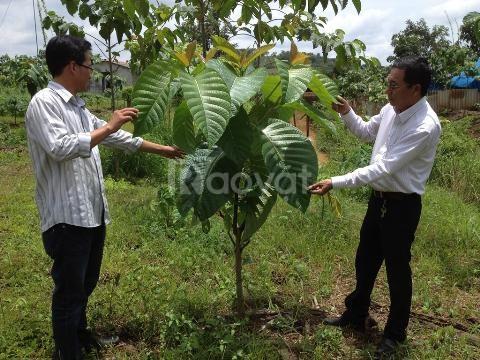 Giống cây dổi, cung cấp cây dổi ghép, dổi xanh thực sinh