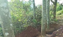 Bán cây giáng hương rừng