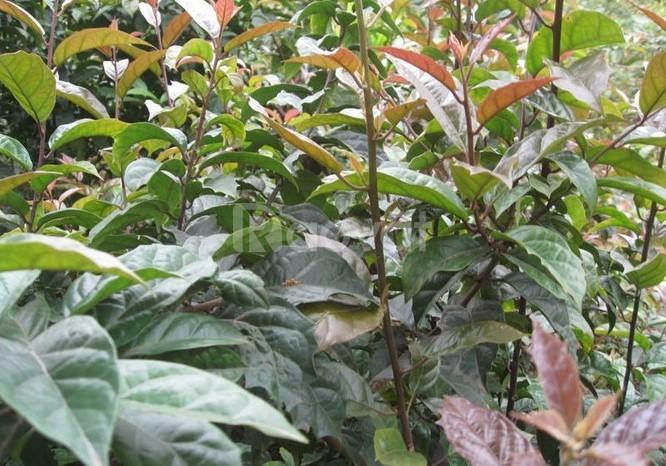 Giống cây xạ đen chuẩn giống, xạ đen hòa bình, cây giống đẹp trồng nga