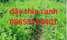 Cây giống dây thìa canh, cây giống, hạt giống cung cấp toàn quốc
