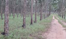 Bán vườn cao su 750 ha tại Cư Jut- Đắc Nông