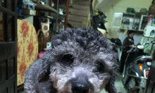 Bán chó poodle thuần chủng