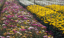 Cung cấp hoa cúc chơi tết 2019, hoa cúc vàng, hoa cúc nhiều màu