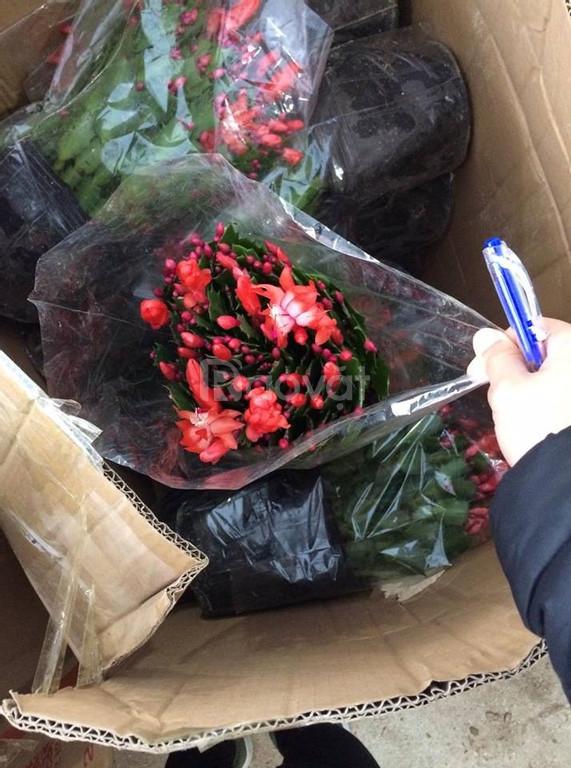 Lan càng cua hoa đẹp trừng bày chậu treo ngày tết, đẹp lộng lẫy