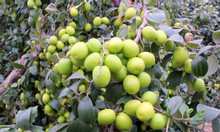Cây giống táo các loại: táo đại, táo Thái, táo Đài Loan, táo vàng