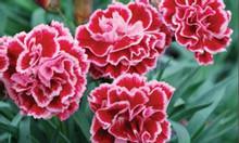 Hoa cẩm chướng đẹp nhé cả nhà cẩm chướng chậu treo