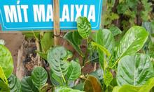 Cây giống mít trái dài Malaisia - Cây cảnh Hải Đăng