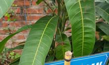 Bán giống cây xoài Đài Loan giá rẻ tại Hà Nội