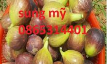 Cây giống sung Mỹ, cây giống cho trái sau 6 tháng trồng phù hợp trồng
