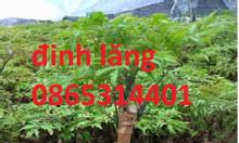 Giới thiệu cây giống đinh lăng giống cây dược liệu có thu nhập