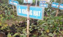 Cung cấp cây giống ổi không hạt - Giao hàng toàn quốc