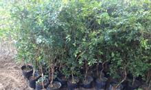 Cây giống nho thân gỗ cây trồng dộc lạ trong giống nho