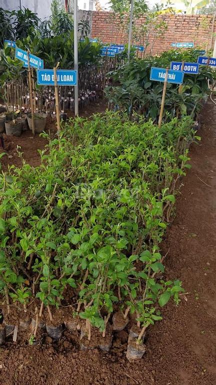 Giống cây táo Thái - cây cảnh hải đăng