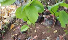 Cây dâu quả dài chuẩn giống