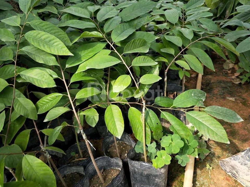 Cây giống ăn quả nhập khẩu, cây na Đài Loan, giống cây na