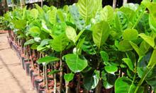 Địa chỉ cung cấp giống mít Thái sớm cho quả nhanh sau 1 năm trồng