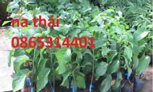 Cung cấp giống cây na Thái Lan quả to khủng 1kg 1 quả cây trồng tiềm