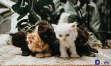 Mèo Anh Lông Dài – Mở bán đàn mèo Anh lông dài tháng 1