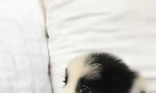 Border collie – Bán đàn collie đen trắng, nâu đỏ cực dễ thương