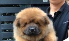 Mở bán đàn chó Chow Chow mini tháng 2/2019