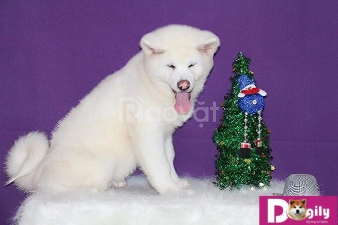 Akita Inu nhập khẩu Nga – Bán chó akita inu tháng 12.2018