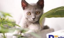 Mèo Anh lông ngắn – Mở bán mèo Anh lông ngắn tháng 1.2019