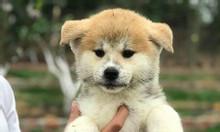 Mở bán đàn Akita Inu tháng 2 cực kỳ bụ bẫm đáng yêu